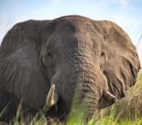 Botswana Exclusive Tours 2019 - 2020 -  Elephant