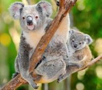Australia Family Adventure Tours 2017 - 2018 -  The Australian Koala