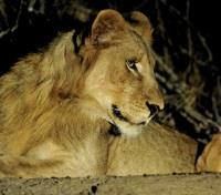 Kenya Active Adventure Tours 2019 - 2020 -  Evening with Lions
