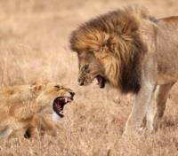 Kenya & Tanzania Signature Safari Honeymoon Tours 2017 - 2018 -  Even Lions Bicker!