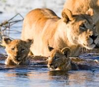 Southern Africa Bucket List Tours 2017 - 2018 -  Lioness and her Cubs