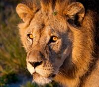 Untouched Tanzania Tours 2019 - 2020 -  Lion