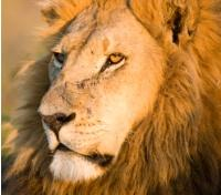 Botswana Discovery Tours 2019 - 2020 -  Lion