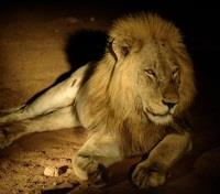 South African Grand Journey Tours 2018 - 2019 -  Lion Under the Spotlight