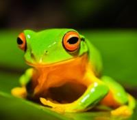 Australia Exclusive: The Aussie Bucket List Tours 2018 - 2019 -  Cape Tribulation - Orange Thighed Treefrog