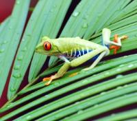 Costa Rica Family Luxury Tours 2019 - 2020 -  Red Eyed Tree Frog