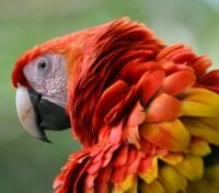 Costa Rica Highlights Tours 2019 - 2020 -  Scarlet Macaw