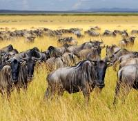 Tanzania Highlights Tours 2017 - 2018 -  Wildebeest