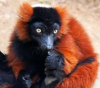 Madagascar Signature - Lemurs, Landscapes and Beach Tours 2017 - 2018 -  Red Ruffed Lemur
