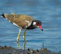 Classic Cambodia Tours 2018 - 2019 -  Cambodian Red-wattled lapwing