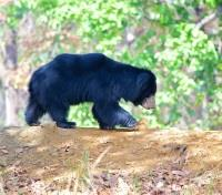Authentic Sri Lanka: Wildlife & Locals Tours 2018 - 2019 -  Baby Sloth Bear