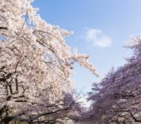 Cherry Blossom Season in Japan Tours 2020 - 2021 -  Ueno Park Cherry Blossom Trees