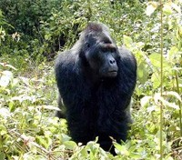 Central Africa Gorilla Trekking Tours 2017 - 2018 -  Mountain Gorilla