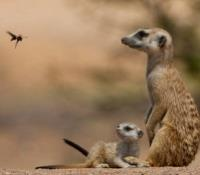 "Botswana Exclusive Tours 2019 - 2020 -  Meerkat - ""Leave my Pup alone Wasp."""