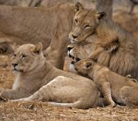 South Africa Wildlife Tracker Tours 2017 - 2018 -  Family of Lions