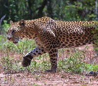 ME to WE: Kenya & Tanzania Game Tracker Tours 2017 - 2018 -  Leopard