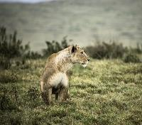 Serengeti Migration Safari Tours 2019 - 2020 -  Lioness