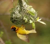 South Africa Family Safari Tours 2017 - 2018 -  A Black Masked Weaver at Work!