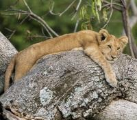 Untouched Tanzania Tours 2019 - 2020 -  Lion Cub