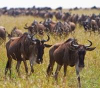 The Great Migration Safari Tours 2017 - 2018 -  Wildebeest Migration