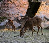 Pure Japan: Skyscrapers, Shrines & Snow Monkeys Tours 2019 - 2020 -  Nara Deer