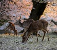 Japan Grand Tour Tours 2018 - 2019 -  Nara Deer