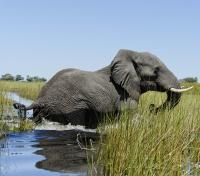 Victoria Falls to the Okavango Delta Tours 2019 - 2020 -  Elephant