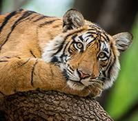 Jungles of India: In Kipling's Footsteps Tours 2019 - 2020 -  Tiger