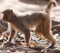 Jungles of India: In Kipling's Footsteps Tours 2019 - 2020 -  Rhesus Monkey