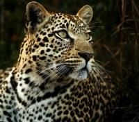 Cape Town & Kruger Safari  Tours 2019 - 2020 -  Leopard in the shadows