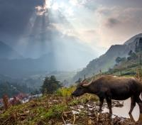 National Geographic Award Winning Vietnam For the Family Tours 2017 - 2018 -  Buffalo in Rice Terraces