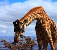 Kenya & Tanzania Game Tracker Tours 2017 - 2018 -  Giraffe Snacking