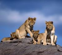 Untouched Tanzania Tours 2019 - 2020 -  Lions on Rocks