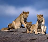 Tanzania Signature Safari and Beach Tours 2018 - 2019 -  Pride of Lions