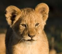 Untouched Tanzania Tours 2019 - 2020 -  Lion Cub near Ruaha