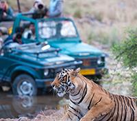 Signature Tour of India Tours 2019 - 2020 -  Tiger Viewing by Jeep