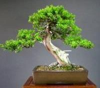 Japan: Temples, Gardens & Art Tours 2019 - 2020 -  Bonsai Tree