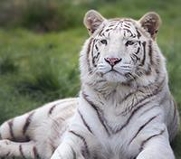 The Heart of India: Tigers, Temples & Taj Mahal Tours 2019 - 2020 -  White Tiger