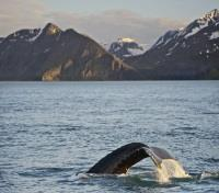 Iceland Honeymoon Tours 2019 - 2020 -  Humpback Whale