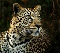 Kruger, Vic Falls & Hwange Safari Highlights Tours 2019 - 2020 -  Leopard