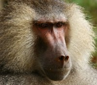 Tanzania Exclusive Tours 2019 - 2020 -  Baboon