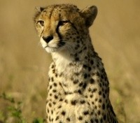 Serengeti Migration Safari Tours 2019 - 2020 -  Cheetah