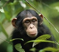 Best of Rwanda  in Style Tours 2020 - 2021 -  Chimpanzee
