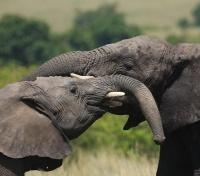 Kenya's Northern Frontier Tours 2019 - 2020 -  Elephant in the Masai Mara