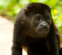 Costa Rica Eco-Luxury Adventure Tours 2018 - 2019 -  Howler Monkey near Tamarindo