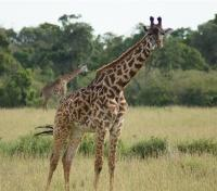 Safari and Sand Tours 2019 - 2020 -  Giraffe