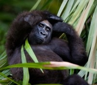 Uganda Game Tracker Tours 2017 - 2018 -  Gorilla Trek