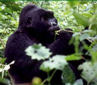 Rwanda Gorillas & Serengeti Safari Tours 2018 - 2019 -  Mountain Gorilla