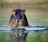 Kenya Highlights Tours 2017 - 2018 -  Hippo