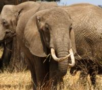 Tanzania Highlights Tours 2017 - 2018 -  Elephants